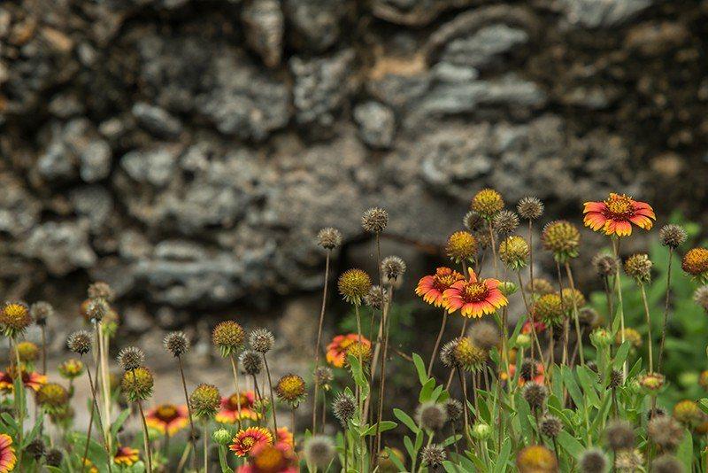 咾咕石間的美麗天人菊  攝影|行遍天下