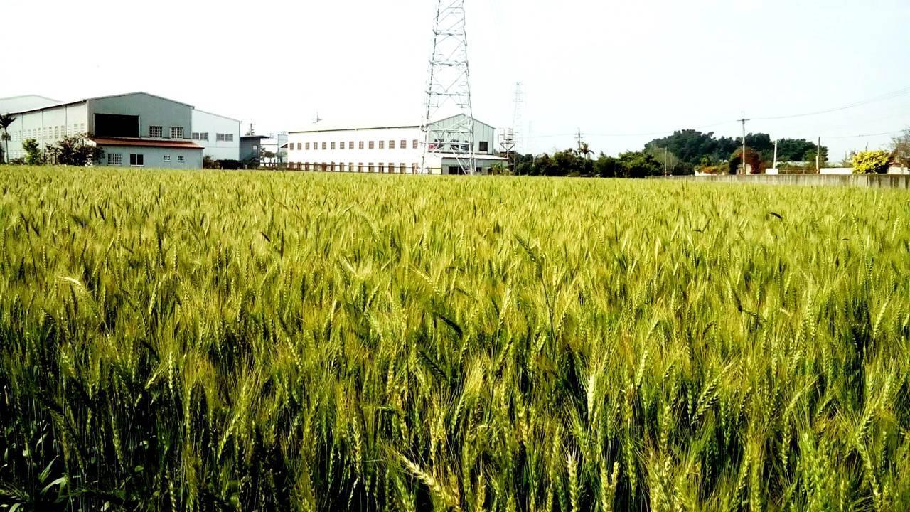 大雅是台灣的重要麥鄉,產量占全台的三分之一。圖/大雅區公所提供