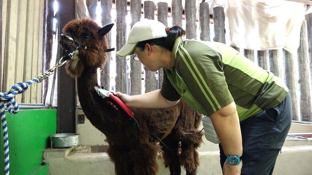亞洲黑熊「黑糖」吃冰消暑。圖/台北市立動物園提供