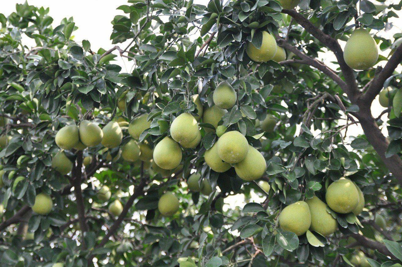 結實纍纍的文旦植株。圖/台南區農業改良場提供