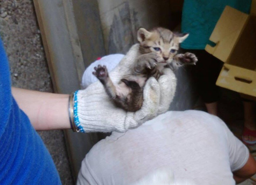 動保員鋸水管救出的灰虎斑可愛貓,上網1天就被認養。圖/新北市動保處提供