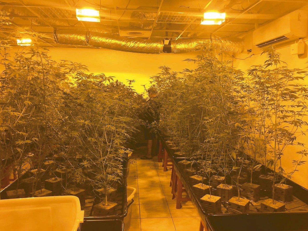 被查獲的大麻栽種場愈來愈多,但栽種大麻需要的水、電開銷不少,也有人「養不下去」。...