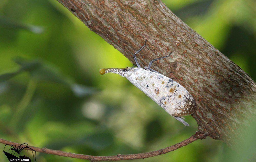 台灣本島原生的渡邊氏東方蠟蟬並不吸食任何作物果樹 。 攝影/簡俊哲