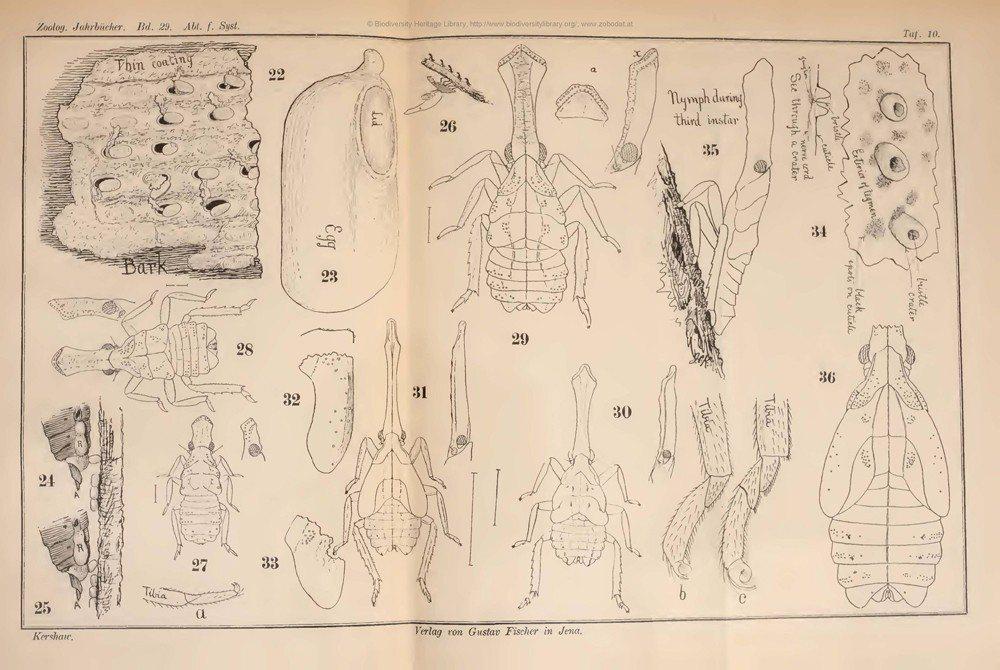 Kershaw與Kirkaldy在1910年便已經對龍眼雞的生活史與形態有著詳盡的研究。 圖/作者提供