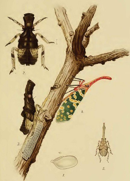 Kershaw與Kirkaldy在1910根據華南的龍眼雞所繪製的生態習性圖。 圖/作者提供