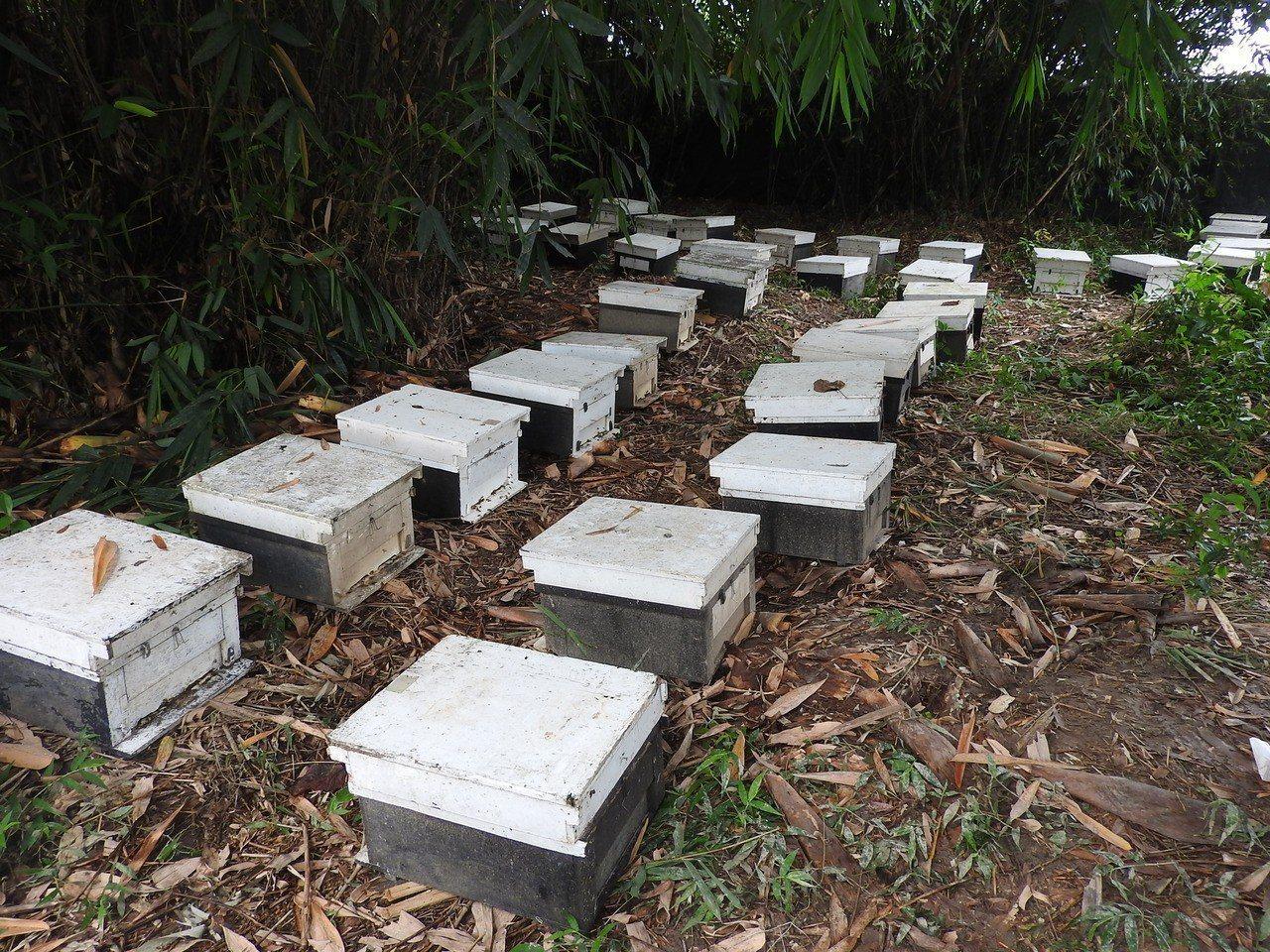 受災蜂農發現蜜蜂又疑因農業用藥大量死亡,緊急將蜂箱移至郊區竹林,之後再做二次遷移...