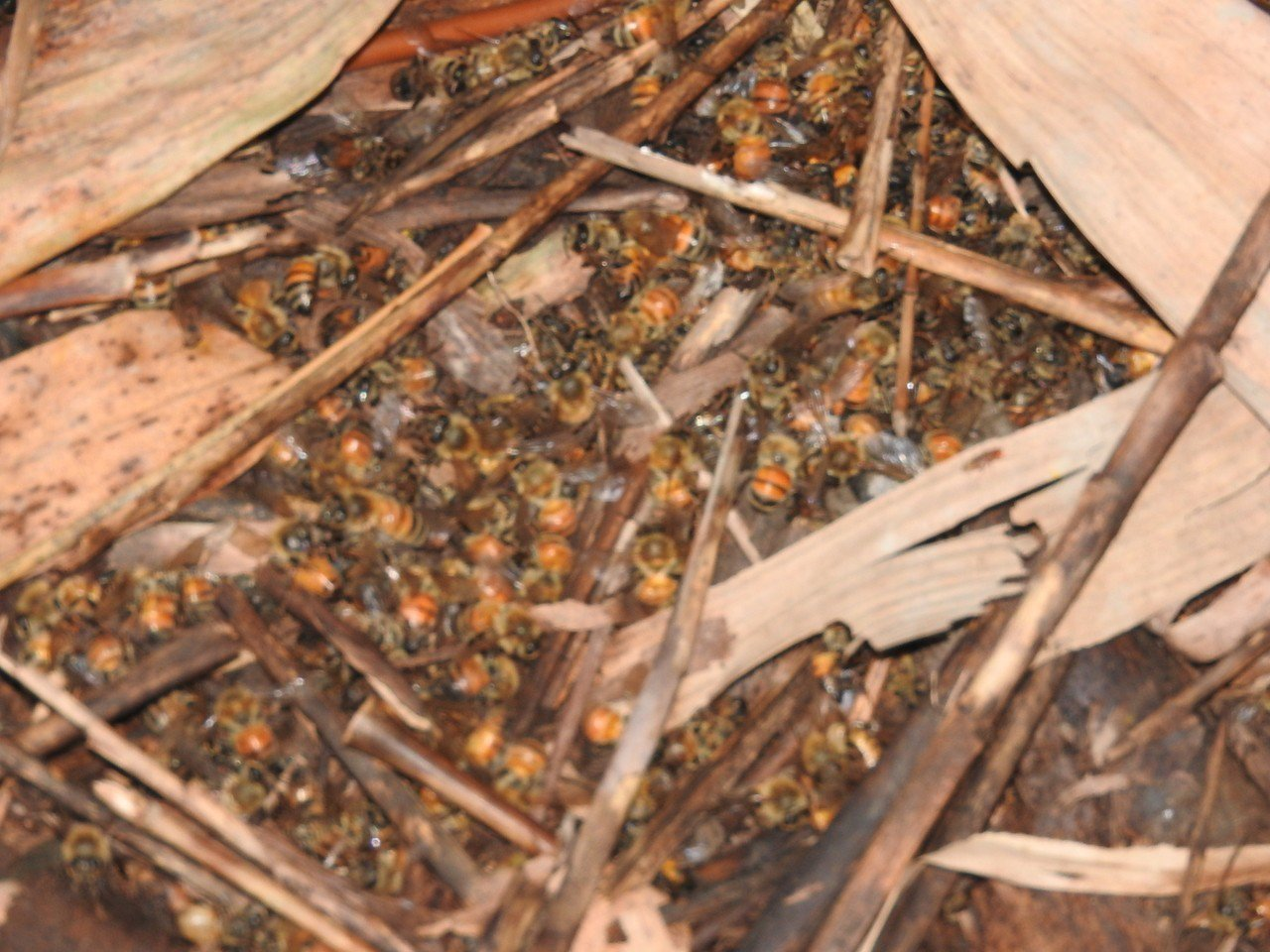 南投縣埔里鎮近期又傳「蜂災」,蜜蜂大量死亡,蜂箱旁屍橫遍野。記者賴香珊/攝影