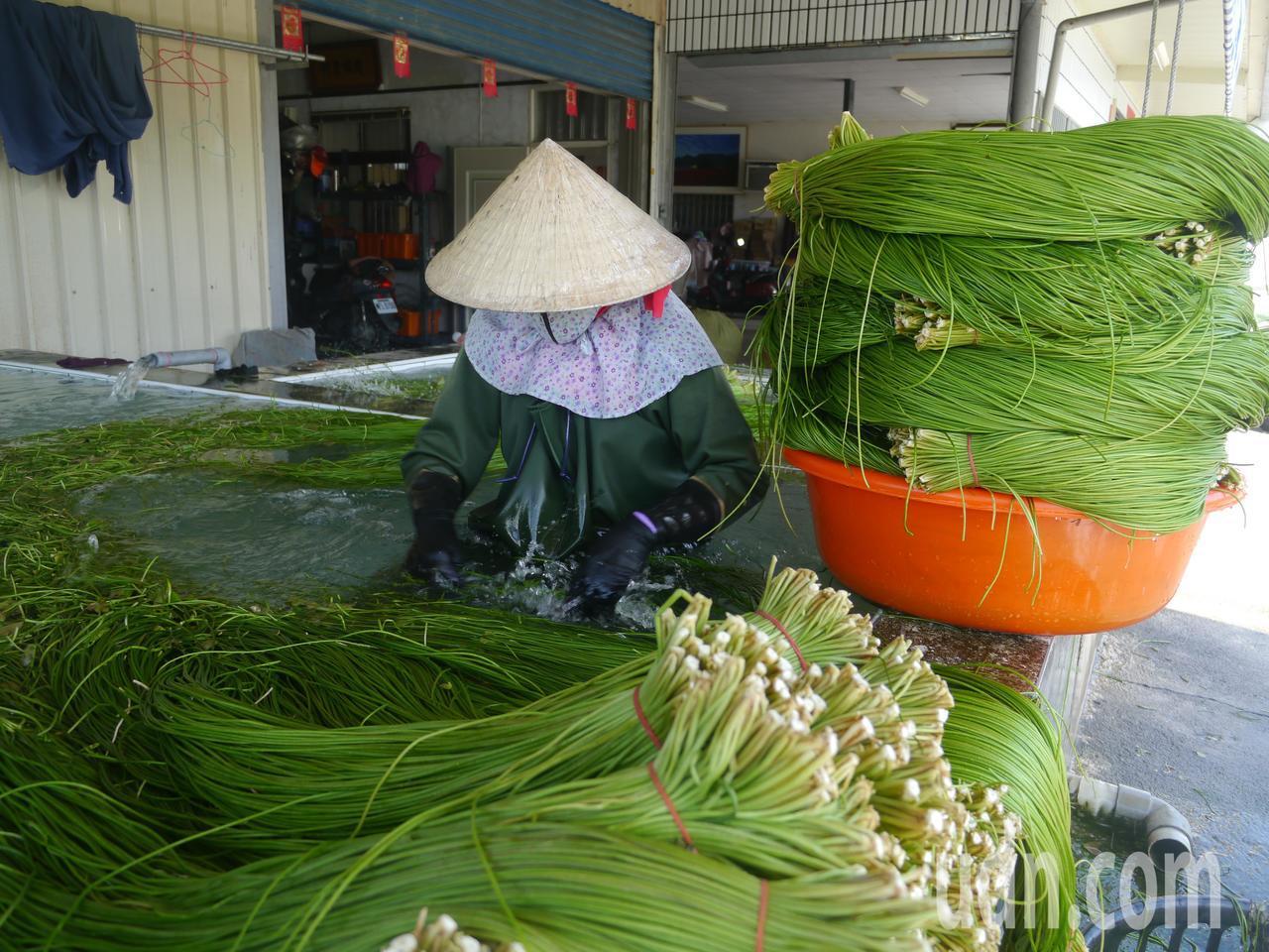 採收後,野蓮送往清水池進行整理與包裝。記者徐白櫻/攝影