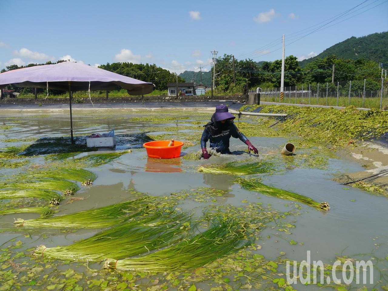 野蓮種植集中在美濃湖一帶,採收作業全在水中進行,工作不輕鬆。記者徐白櫻/攝影