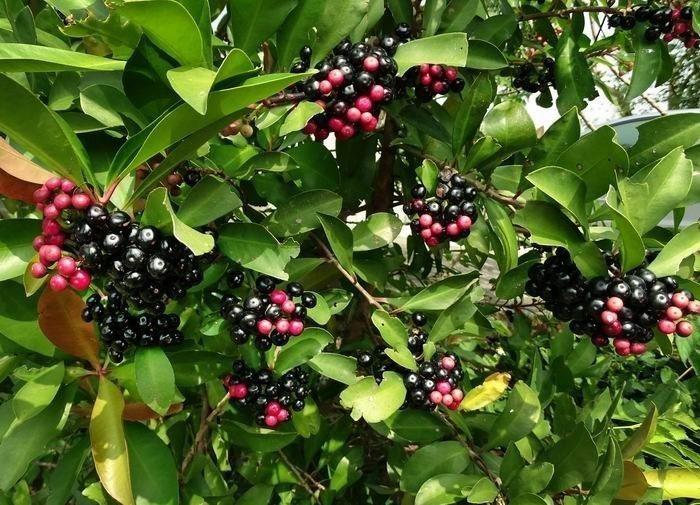 大家小時候常吃的紅紅果實其實叫做春不老 圖片來源/sowhc
