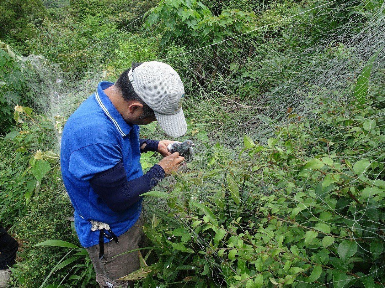 7隻賽鴿中網,林務局新竹林管區會同保七第五大隊員警逐一解網救鳥。圖/新竹林管處余...