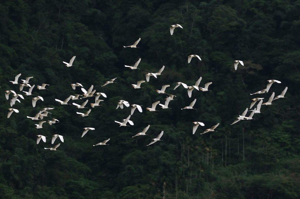 群鷺朝鳳景色壯麗。圖/中華綠生活協會提供