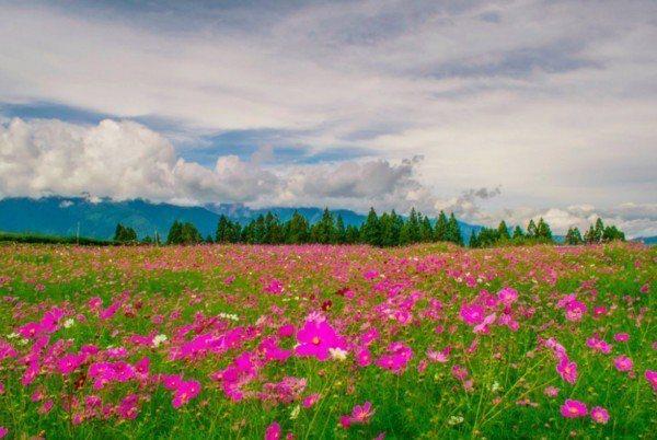 福壽山農場的波斯菊花將在9月中旬到10月中旬間盛開。
