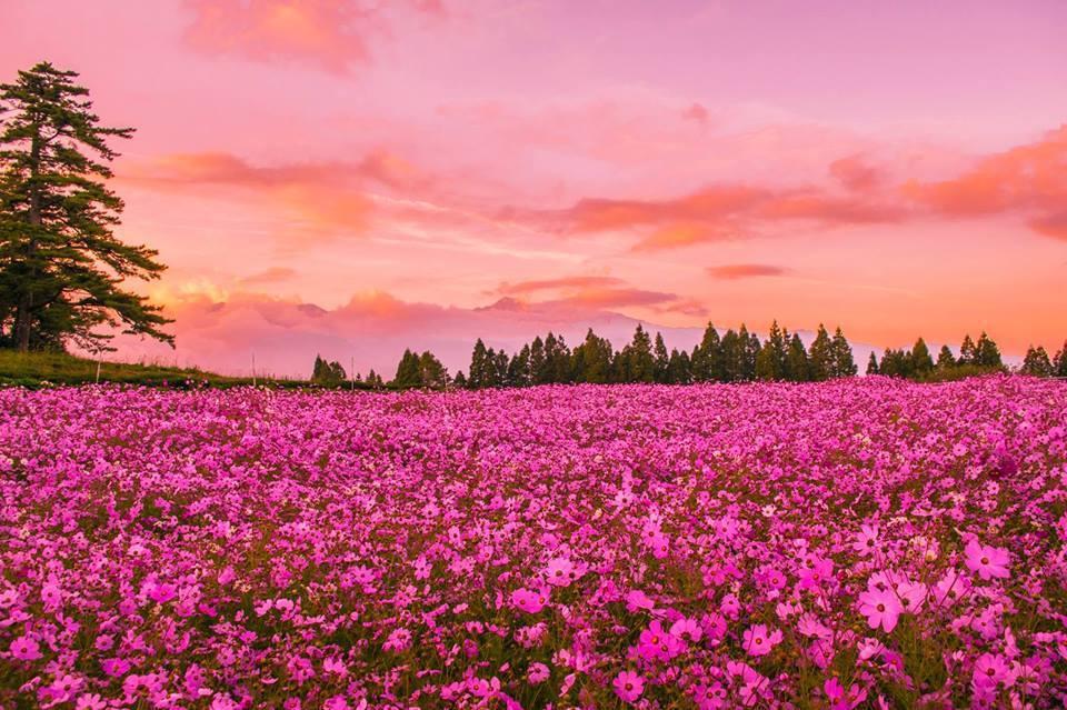福壽山農場的波斯菊花,隨著晚霞將整片天空染成粉紅色,搭配花海看起來更是美不勝收。...