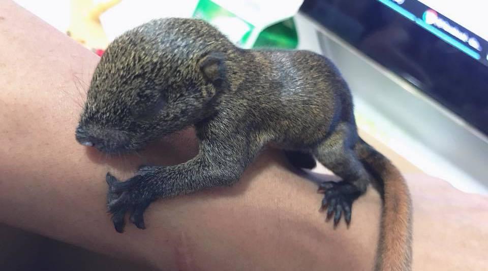 網友拆舊除冷氣,結果掉出一隻眼睛還未張開的小松鼠。圖截自爆料公社