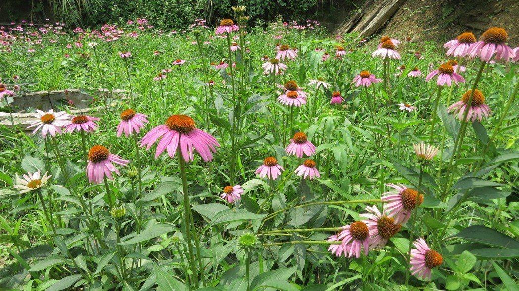 苗栗市「杜石地一號紫錐花莊園」種植紫錐花正值花季,不僅有景觀作用,還附加茶飲、保...