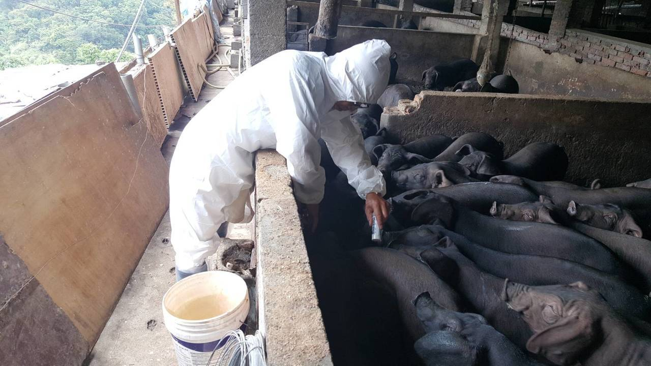 黃佳重原是石碇鄉公所退休獸醫,會定時到養豬場訪視健康情形,並協助豬農施打預防針注...