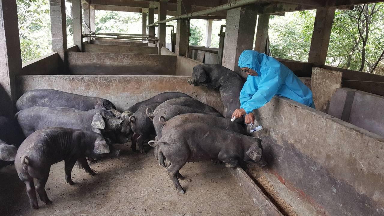 黃佳重利用餵食時段,替豬隻進行預防注射。圖/新北市農業局提供