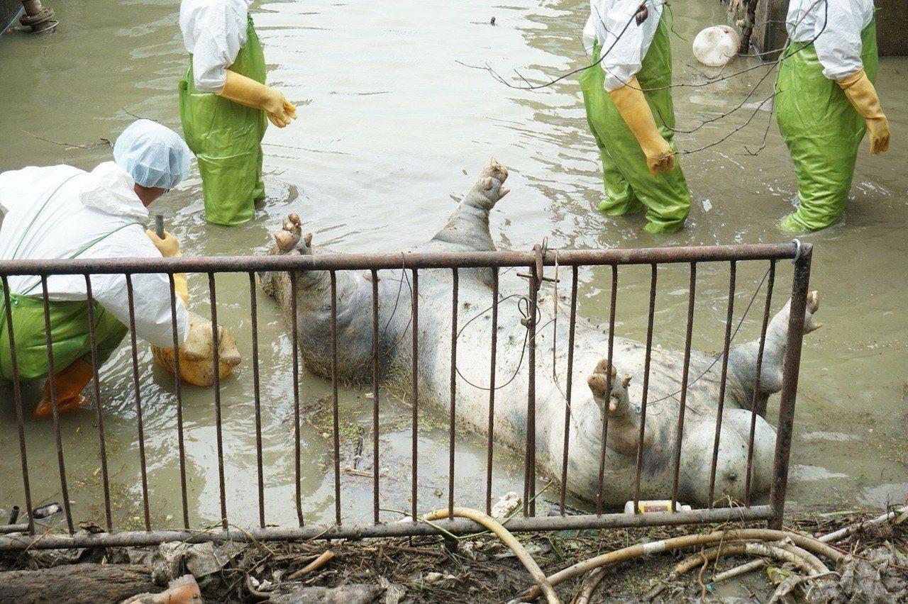 10軍團救災官兵徒手拉起被水泡得發漲的豬屍。圖/陸軍司令部提供