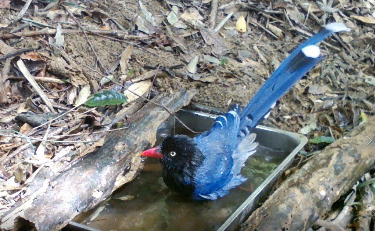 這隻藍鵲獨佔水盆戲水,果然霸氣。圖/截取自屏東林管處提供的影片