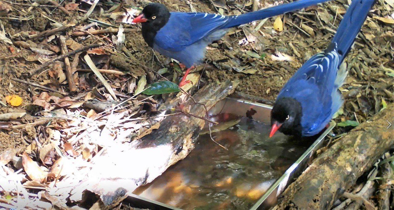 台灣藍鵲難得在地面上活動,還被拍攝下戲水模樣。圖/截取自屏東林管處提供的影片