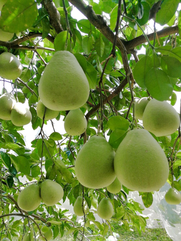 宜蘭冬山文旦柚有一種慢慢成熟的甜美與慢慢醞釀的清香。圖/冬山鄉農會提供