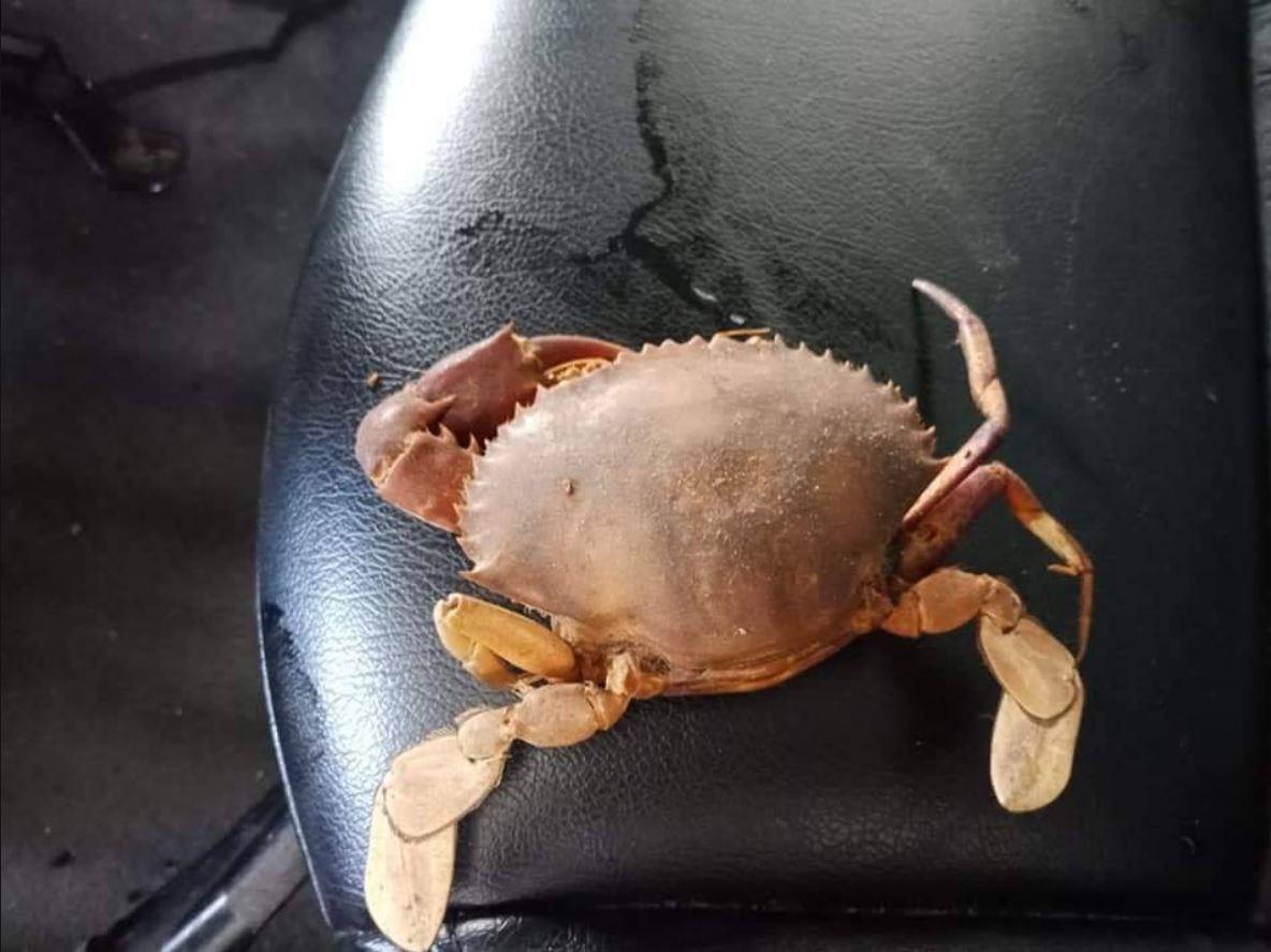 螃蟹已變成乾屍,讓網友們啼笑皆非。圖擷自爆料公社一日小編