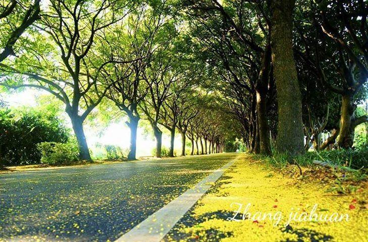 東螺溪台灣欒樹去年金黃色場景,預計將再現。圖/張嘉桓提供
