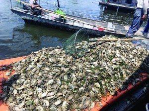 洪澤湖萬畝漁場污染,魚蟹死光。取自現代快報