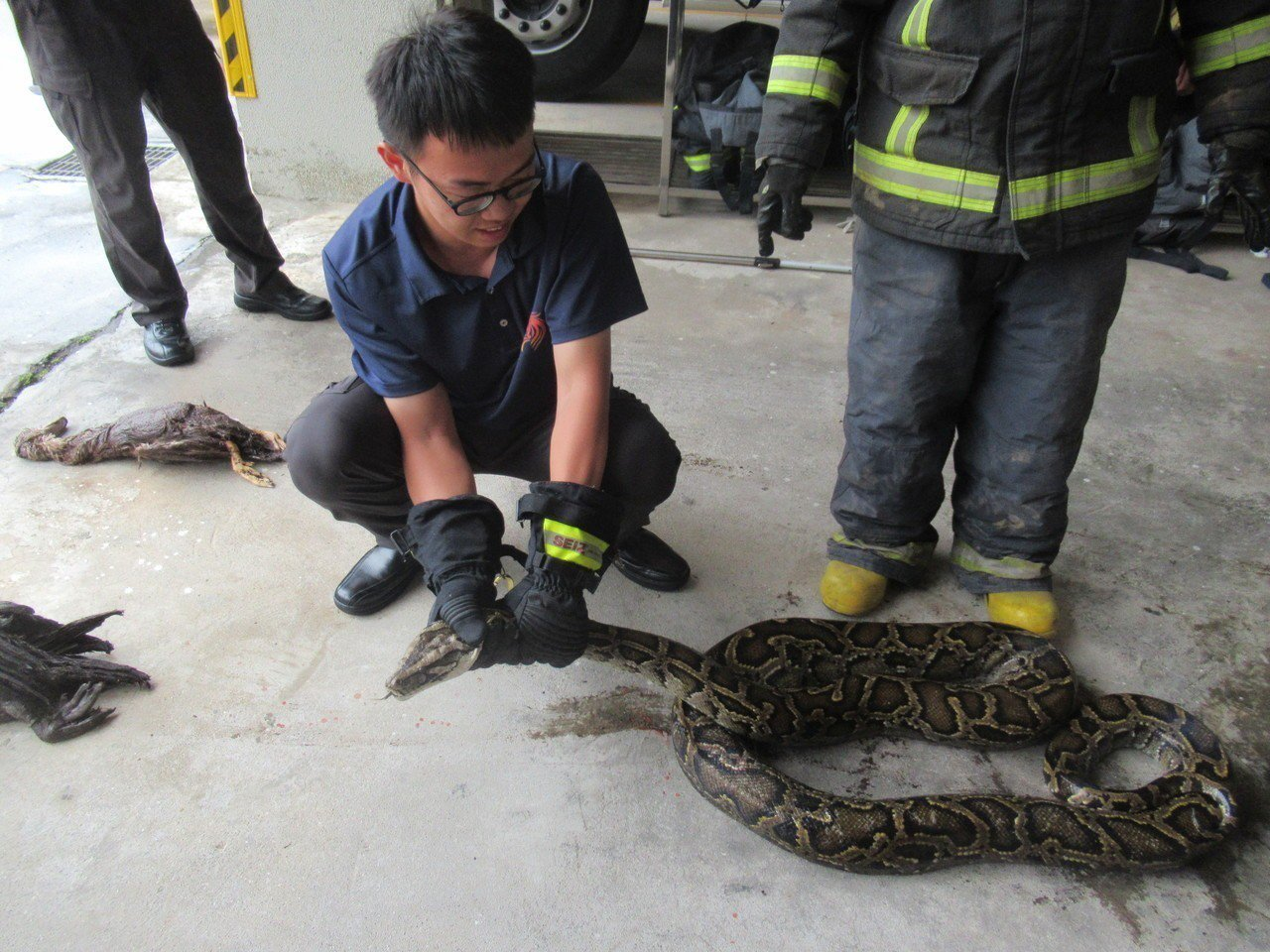 消防隊員示範如何將巨蟒手到擒來。 圖/金門縣消防局提供