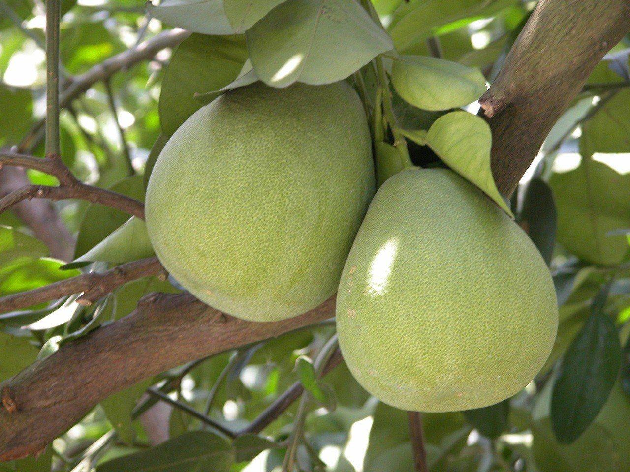 今年花蓮日照充足,文旦柚鮮甜又多汁。圖/花蓮農改場提供