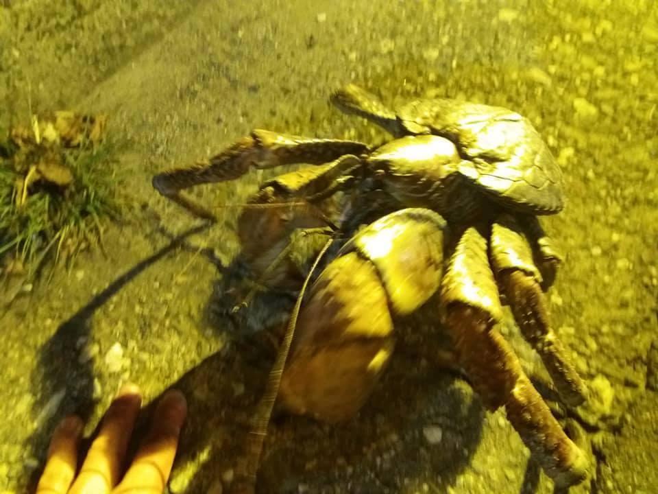 一隻巨大椰子蟹日前在市區馬路趴趴走,幸被一對保育志工情侶解危,安全送往綠島野放。...
