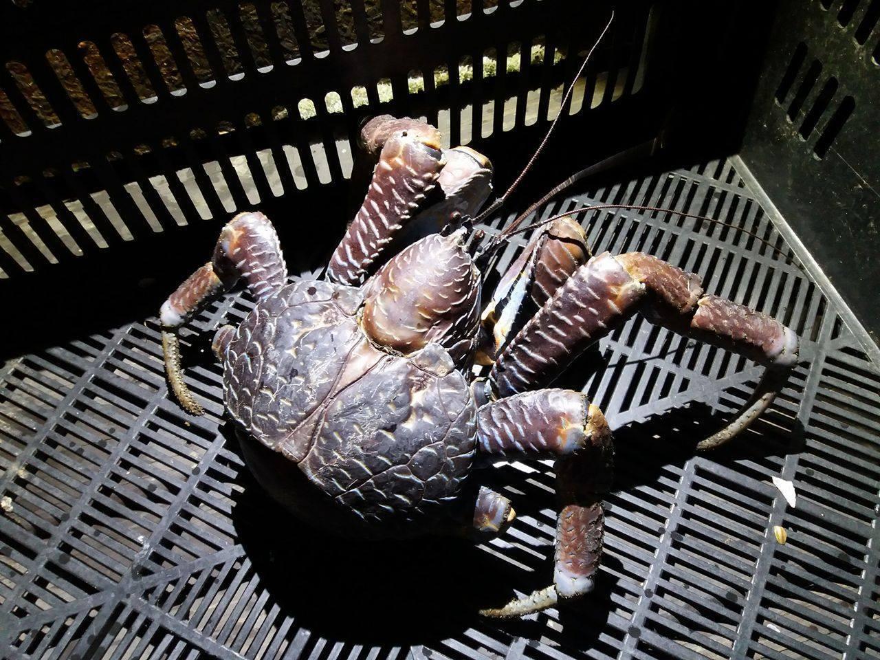 椰子蟹是現存最大型的陸生甲殼動物,最重達6公斤,由於數量稀少,被政府列為珍貴稀有...