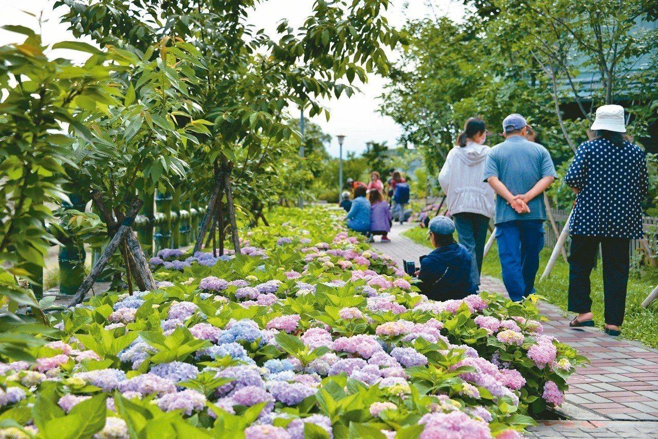 泰山區黎明里的黎明步道花園,由鄒秀奎培育及嫁接櫻花及繁殖繡球花。 圖/鄒秀奎提供