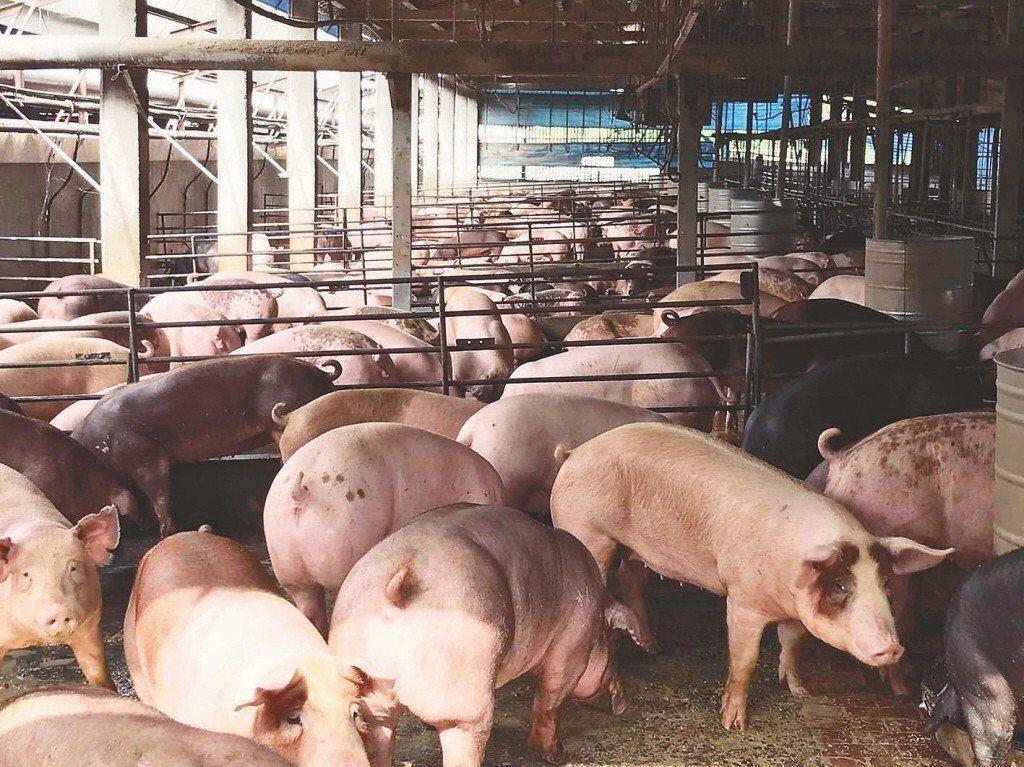 養豬場。聯合報系資料照片