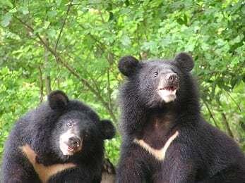 山屋屢現黑熊,專家呼籲,主管單位應該採取積極的管制作為,避免人熊衝突事件。圖/台...