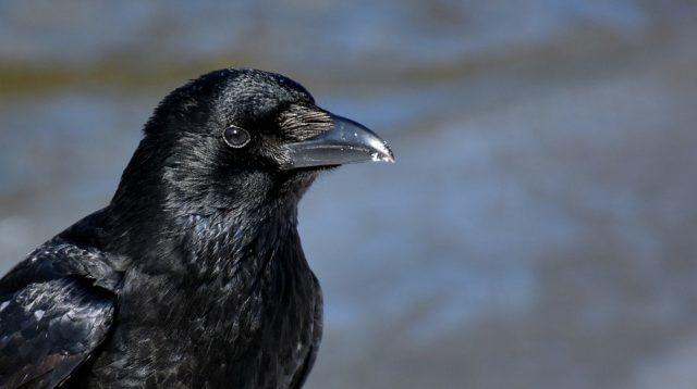 ▲ 研究顯示,烏鴉可以持續記仇數天甚至一個月。(Source:pixabay)