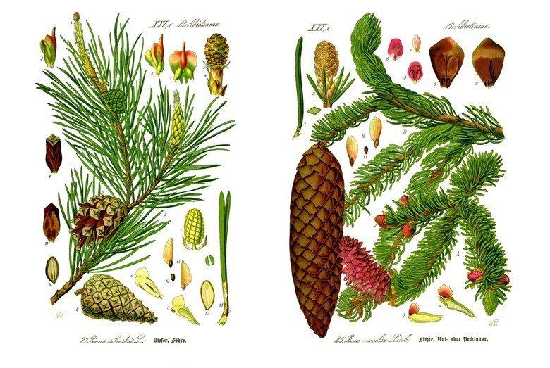 左為歐洲赤松,右為挪威雲杉。 圖/維基共享