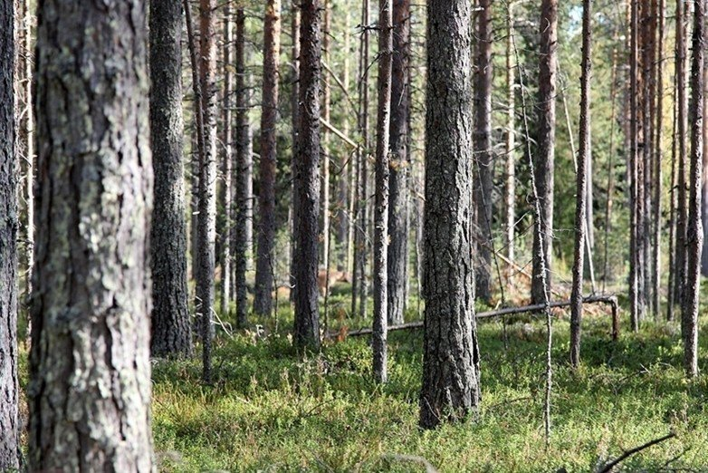 針對不規律進行強制經營,會導致某些物種走向滅絕,也永遠無法成功地將樹木轉化成沒有歷史的生物。 圖/維基共享