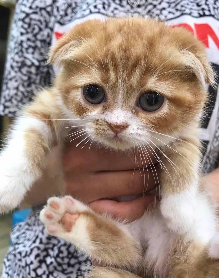 蘇格蘭折耳貓長相可愛,但有天生基因缺陷,飼養困難,去年藝人林志穎送兒子折耳貓當生...