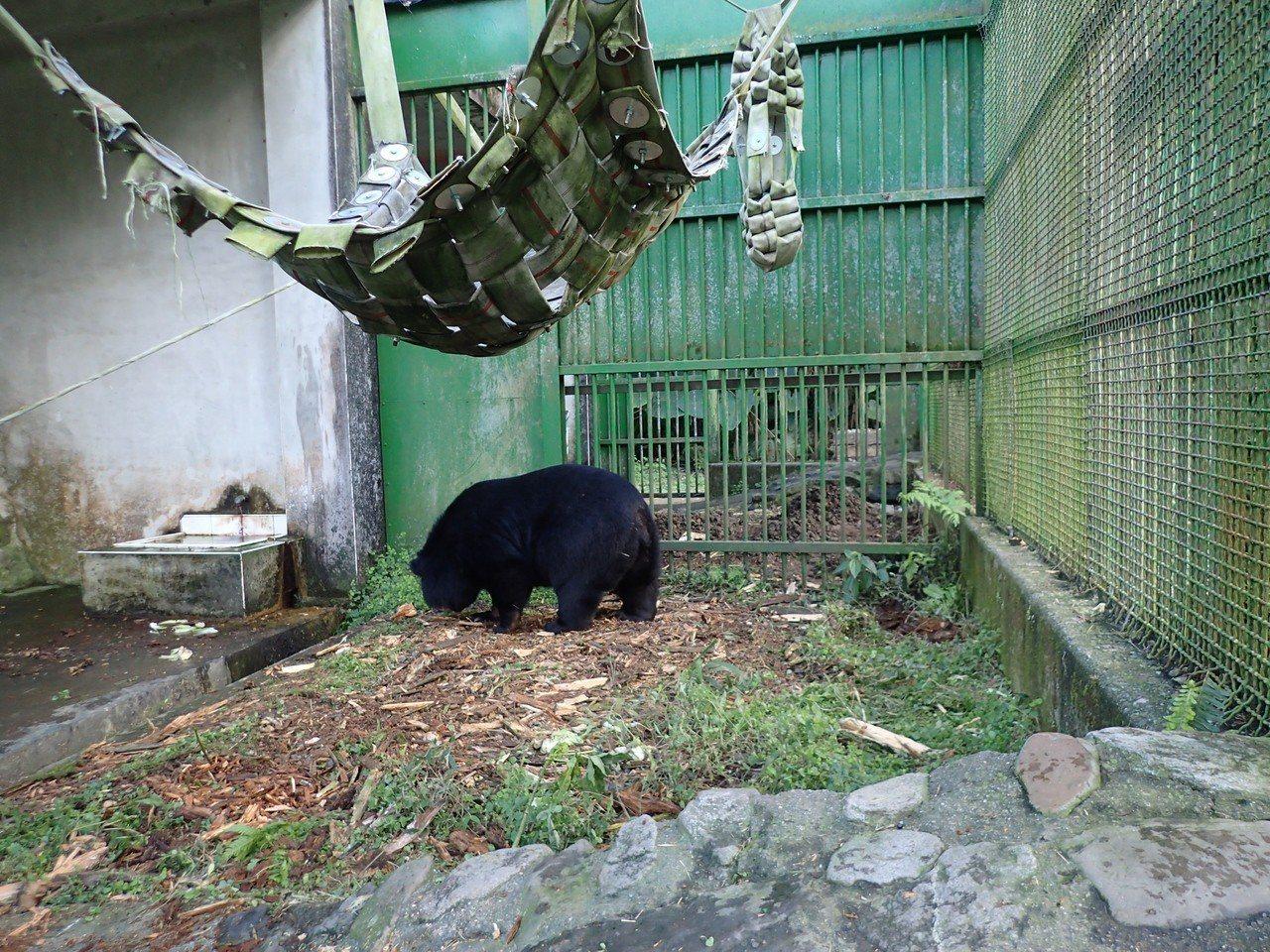 研究人員改變食物形狀、藏匿食物以延長覓食時間等方式,增進黑熊的健康。圖/特生中心...