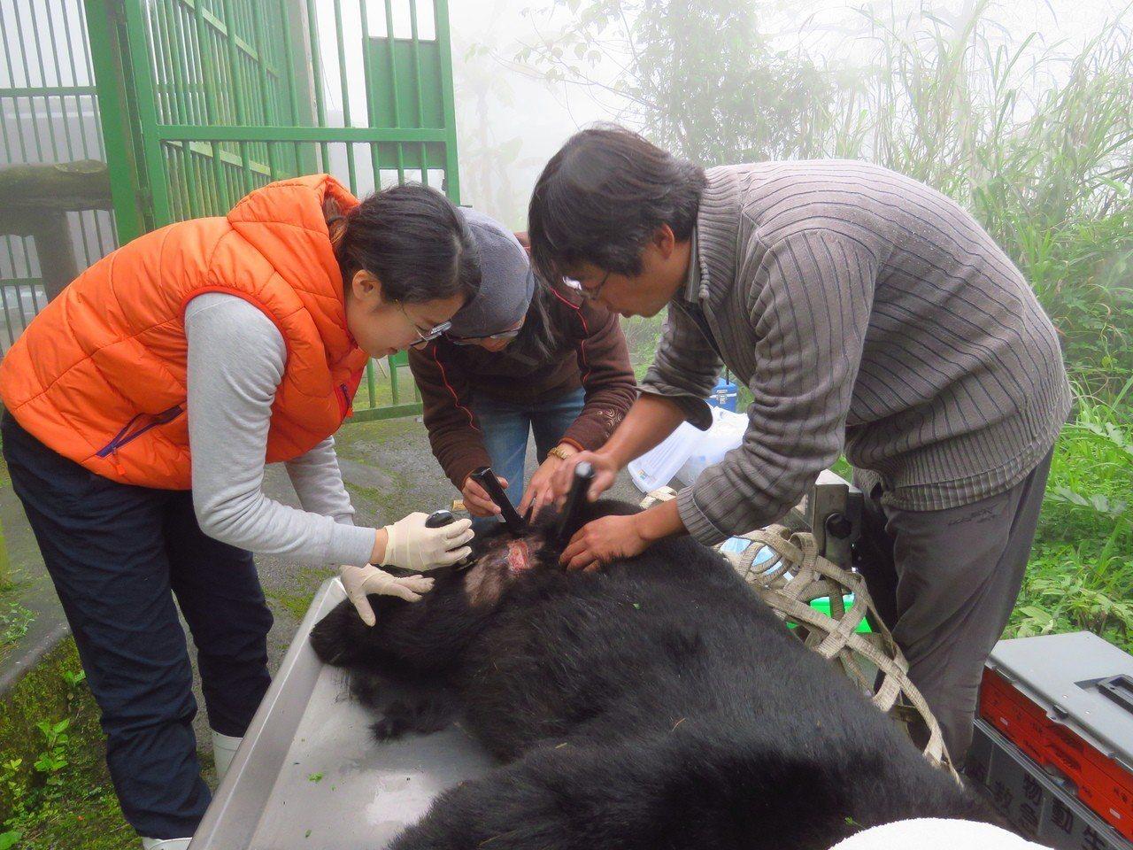 特生中心研究人員,透過下指令的方式,在安全的狀況下幫黑熊進行肌肉注射、抽血及麻醉...