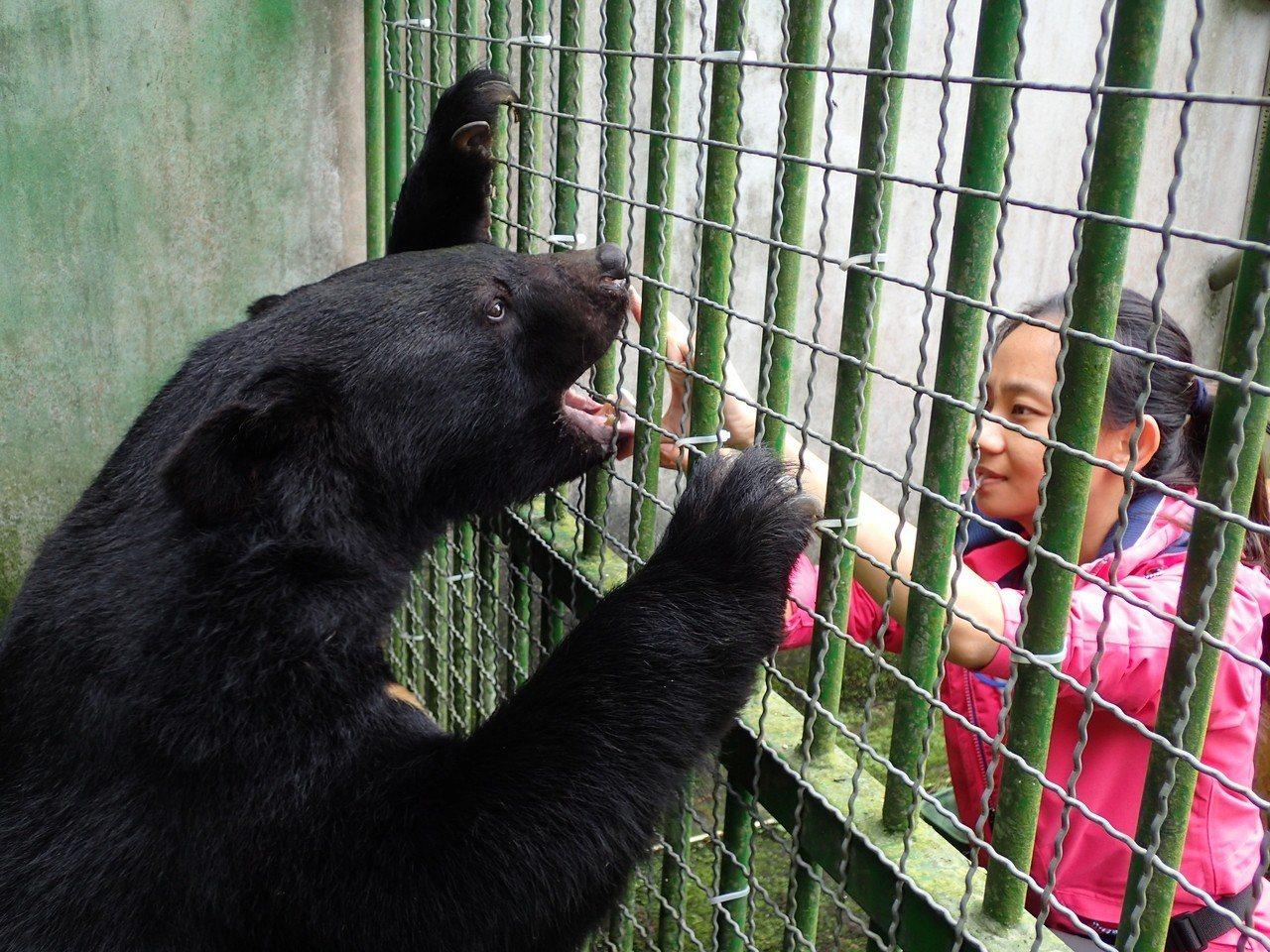 特生中心研究人員透過下指令的方式進行醫療行為,也能不破壞好不容易建立起的人熊友好...