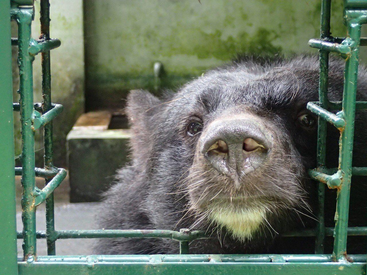 圈養黑熊。圖/特生中心提供