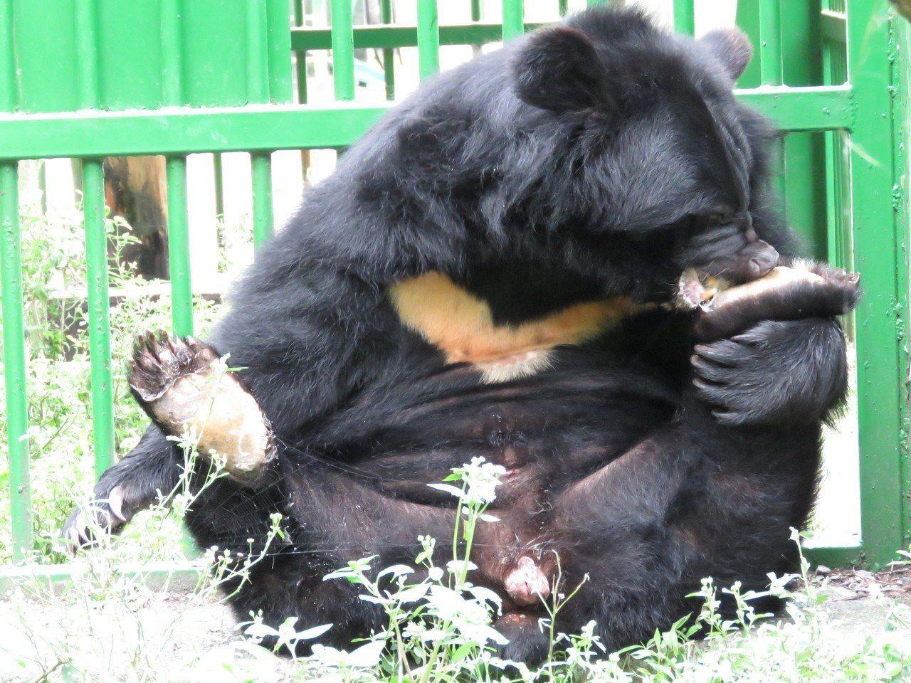 農委會特生中心低海拔試驗站透過訓練提高圈養黑熊的福利。圖/特生中心提供