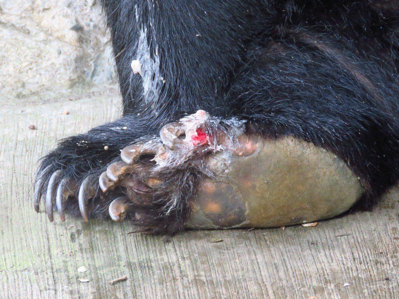 圈養黑熊易產生自殘行為,而出現傷勢。圖/特生中心提供