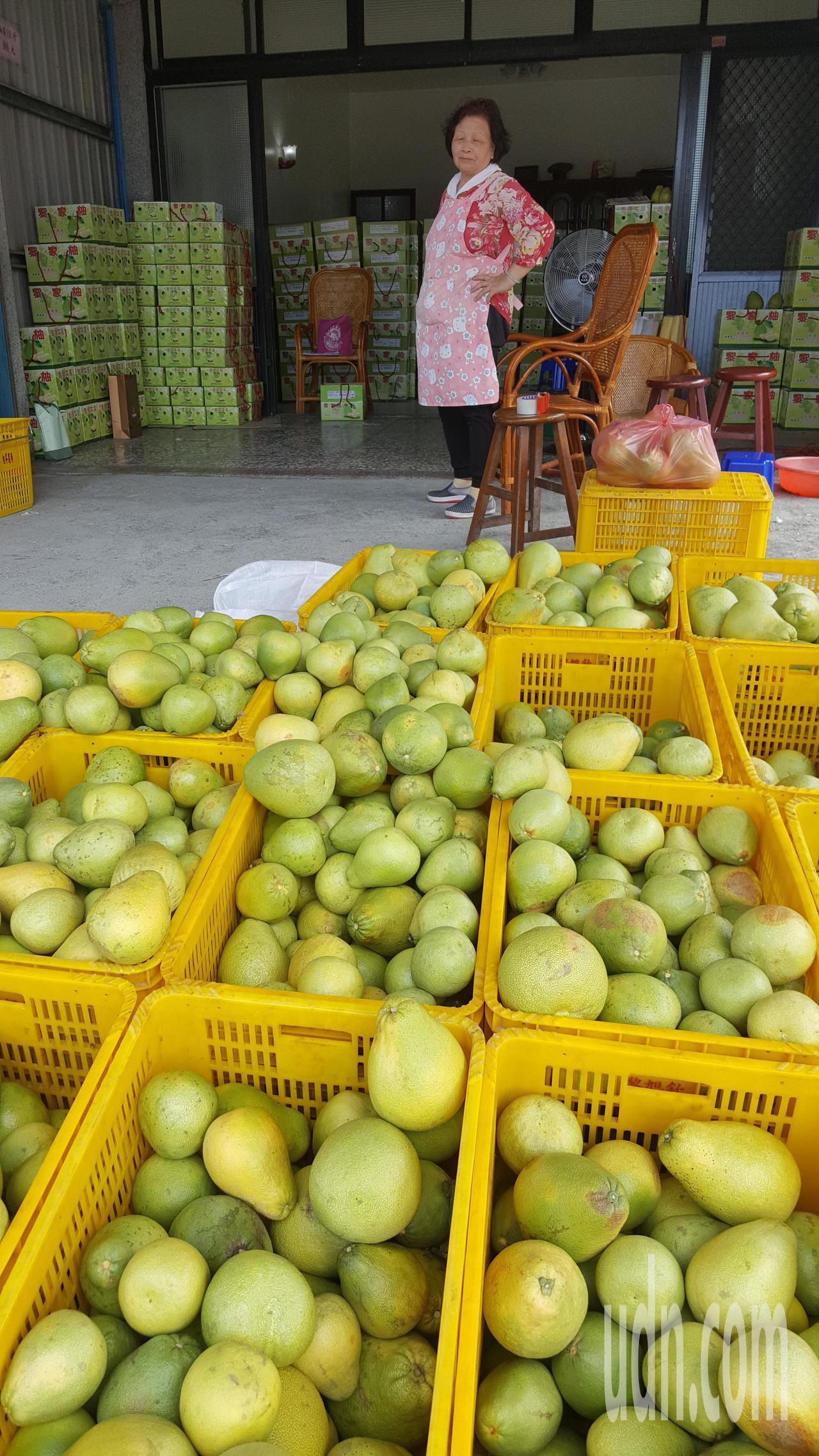 苗栗縣西湖鄉文旦柚今年豐收且品質佳,連日來各果園忙著出貨。記者胡蓬生/攝影