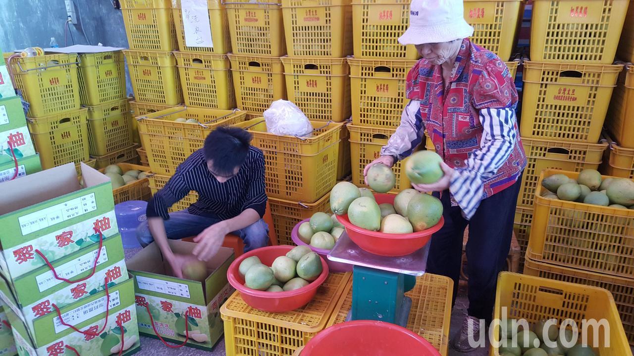 苗栗縣西湖鄉文旦柚今年豐收且品質佳,連日來各果園忙著裝箱出貨。記者胡蓬生/攝影