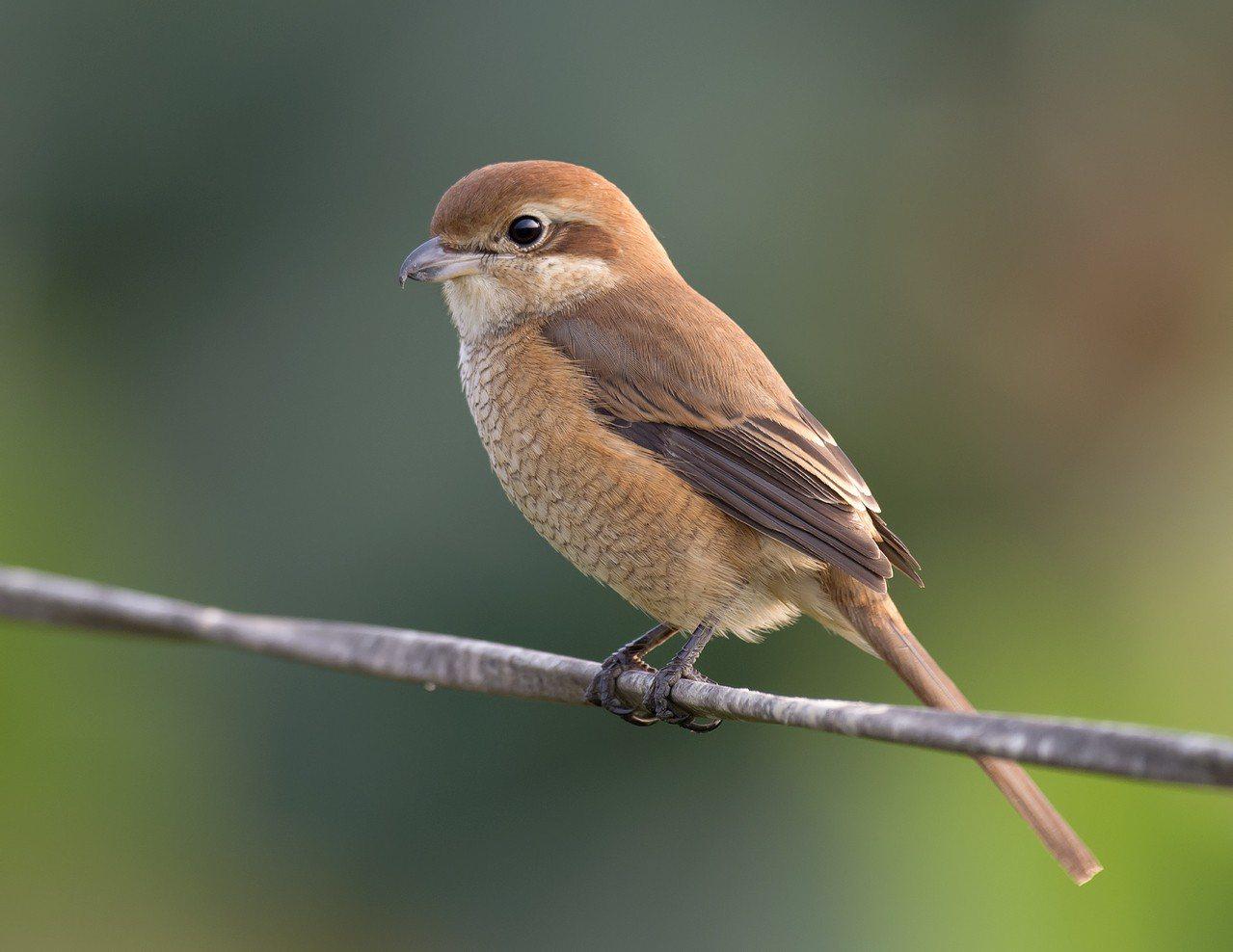 紅尾伯勞鳥大量過境恆春半島 。記者潘欣中/翻攝