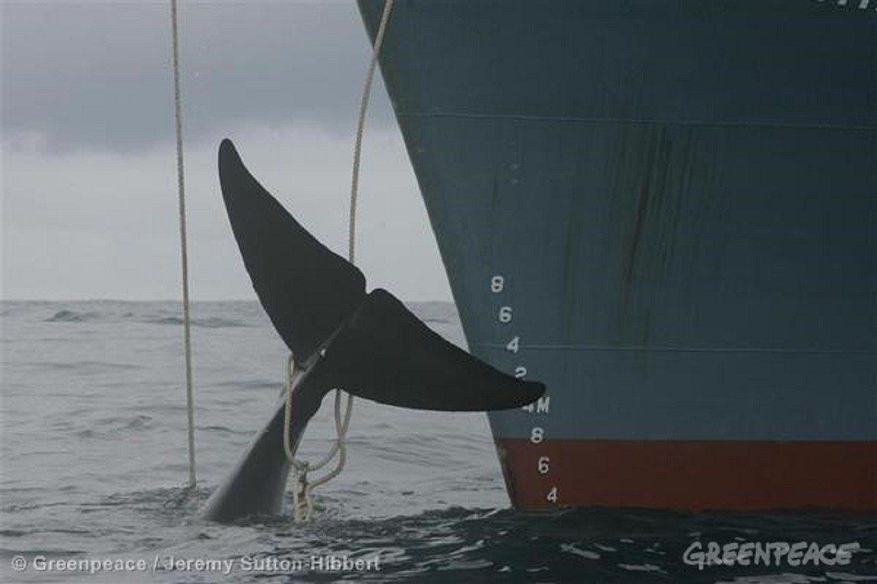 國際捕鯨委員會9月10-14日在巴西召開年會,反捕鯨國再提南太平洋鯨魚保育區計畫...